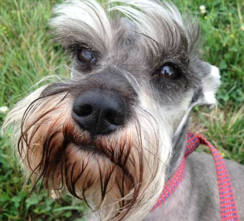 WorldCare Moves Kaiser, a Handsome Miniature Schnauzer, from Mexico to Ohio
